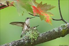 Ruby-throated Hummingbird Family Portrait. (Daniel Cadieux) Tags: hummingbird rubythroatedhummingbird nest nesting nestlings trio family maple lichen siblings twins forest ottawa mapleleaf