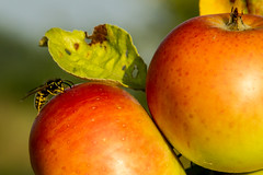 Apfel und Wespe (gutlaunefotos ☮) Tags: apfel wespe