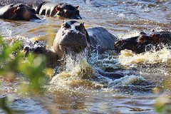 Hippos in action (Steve S. Yang) Tags: hippopool nationalpark hippos africasafari tanzania serengeti