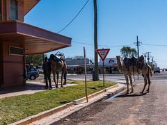 Camels at Australian Hotel Burke St Boulia Queensland P1030418ah (john.robert_mcpherson) Tags: camels australian hotel burke st boulia queensland