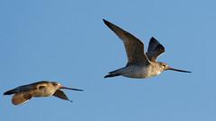 Bar-tailed godwit (DanD_NZ) Tags: birds newzealand nikkor200500mmf56 nikond500 bif miranda bartailedgodwit