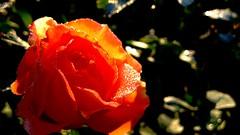 Drops of dew on rose petals. (ALEKSANDR RYBAK) Tags: роза цветок лепестки капельки утро свежесть нежность лето сезон погода природа макро крупный план красота изящность свет тень солнечный листья rose flower petals droplets morning freshness tenderness summer season weather nature macro closeup beauty elegance shine shadow solar leaves dew tree