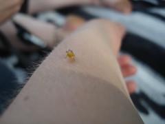 Folk Fest Bug. (SunSirrah) Tags: calgary sarah arm whitey blondehair mysterybug insectidentification