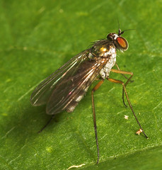 "Long Legged Fly (Dolichopodidae) • <a style=""font-size:0.8em;"" href=""http://www.flickr.com/photos/57024565@N00/205755782/"" target=""_blank"">View on Flickr</a>"