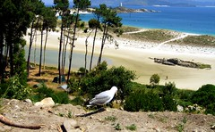 Viga (Lou Rouge) Tags: sea espaa bird beach ilovenature island mar spain mare gull playa rasbaixas galicia gaviota pontevedra mouette ces lourouge islasces illasces rasbajas gettyimagesspainq1