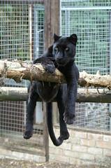 Black Panther (tim ellis) Tags: black animal cat leopard panther carnivore santago msh1113 msh11136