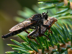Robber Fly and Prey - by BugMan50