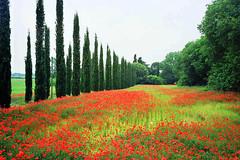 Red field. (Abu Yotam) Tags: flowers red italy film public field israel nikon italia fuji sigma scoopt nikon801s sigma287028f flickrviagr abuyotam