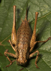 """Dark Bush Cricket (Pholidoptera grise(3) • <a style=""""font-size:0.8em;"""" href=""""http://www.flickr.com/photos/57024565@N00/231120583/"""" target=""""_blank"""">View on Flickr</a>"""