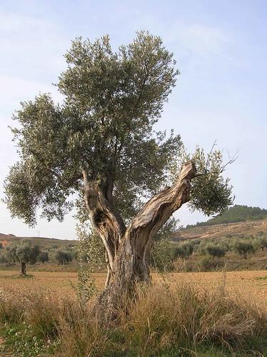 olivo centenario alcorisa