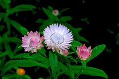 rosettes2 (bric) Tags: flowers kewgardens london gardens royalbotanicgardens