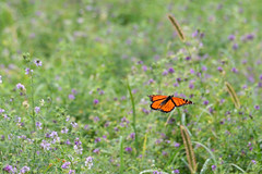 Butterfly & Alfalfa 7