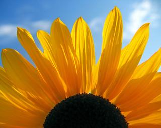 Another Vandy Sunflower