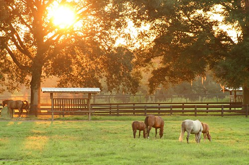 Horses grazing at sunset.