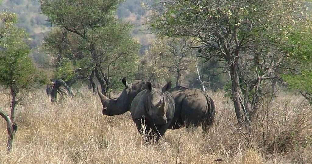 neushoorns (Kruger Park)