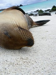 Surf v Snore: Up Close in the Galapagos (ARKNTINA) Tags: beach nature island ecuador wildlife galapagos sealion galapagosislands randomnature gardnerbay islaespanola galapagossealion bahiagardner lpclose random6
