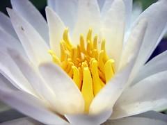 Waterlily (southpaw20) Tags: flower waterlily northcarolina chapelhill ncbotanicalgarden southpaw20