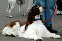 Where You Lead... (Laurie York) Tags: devotion spaniel connection iwillfollow agreatdog whereyoulead mywinners