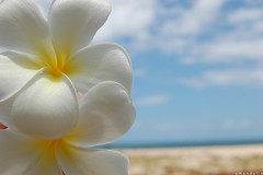 Falling Flowers on the Beach (mandolin davis) Tags: wallpaper sky flower beach hawaii interesting