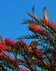Grevillea Diner (Catching Magic) Tags: newzealand bird olympus e300 tiraudan silvereye grevillea whiteeye waxeye