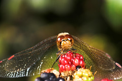 """Common Darter Dragonfly (Sympetrum s(22) • <a style=""""font-size:0.8em;"""" href=""""http://www.flickr.com/photos/57024565@N00/243805661/"""" target=""""_blank"""">View on Flickr</a>"""