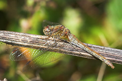 """Common Darter Dragonfly (Sympetrum s(21) • <a style=""""font-size:0.8em;"""" href=""""http://www.flickr.com/photos/57024565@N00/243805796/"""" target=""""_blank"""">View on Flickr</a>"""
