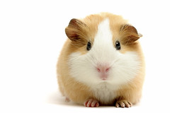 guinea pig over white (Mr D Trng) Tags: hairy pet brown white detail macro cute up animal closeup fur gerbil mouse mammal nose guinea pig rodent eyes furry funny close details over adorable ears whiskers mice hamster tame isolated