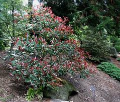 Photinia x fraseri Japanese Garden, Lotusland