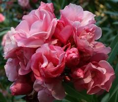 Pink Oleander Cluster - by cobalt123