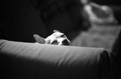 Margaux (davebias) Tags: sleeping blackandwhite dog
