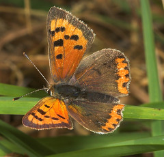 """Small Copper Butterfly (Lycaena phlae(3) • <a style=""""font-size:0.8em;"""" href=""""http://www.flickr.com/photos/57024565@N00/248072380/"""" target=""""_blank"""">View on Flickr</a>"""