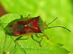 Birch Shield Bug (Marko_K) Tags: red green bug top20wings quality stinkbug shieldbug gtaggroup goddaym1 specanimal animalkingdomelite birchshieldbug elasmostethusinterstinctus