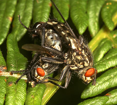 "Mating Flesh Flies (Sarcophaga carnaria) • <a style=""font-size:0.8em;"" href=""http://www.flickr.com/photos/57024565@N00/248854775/"" target=""_blank"">View on Flickr</a>"