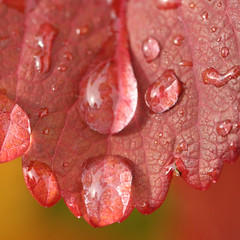 Drops on leave (stinac) Tags: light red macro tree fall texture nature water leaves daylight drops artistic stillness