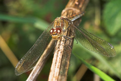 "Common Darter Dragonfly (Sympetrum s(17) • <a style=""font-size:0.8em;"" href=""http://www.flickr.com/photos/57024565@N00/249200223/"" target=""_blank"">View on Flickr</a>"