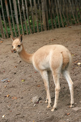 Young Vicuna (A.J. Haverkamp) Tags: amsterdam zoo thenetherlands artis dierentuin vicuna httpwwwartisnl