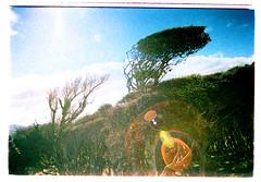 Wind-blown trees, Otago Peninsula (jasoux) Tags: trees newzealand abstract tree nature strange crossprocessed bush wind crossprocess candid warped zealand crossprocessing lensflare nz flare otago dunedin grainy peninsula twisted otagopeninsula windblown lense obscure sandymount