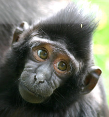 Wide eyed (Chrissie64) Tags: nature face animal wonderful mammal monkey bigeyes interestingness eyes flickr expression explore jersey exploreinterestingness endangered youngster myfavourites channelislands simian macaque endangeredspecies simien durrell explored naturalpunk sulawesicelebesmacaque throughfence geralddurrellconservationtrust