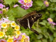 Saltadora de banda blanca / White-striped Longtail (Chioides albofasciatus)