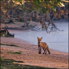 Red Fox @ Mason Neck, Va (Nikographer [Jon]) Tags: red beach animal animals topv111 landscape ilovenature virginia landscapes lenstagged nikon october quality oct 2006 fox d200 nikkor masonneck redfox vulpesvulpes 80400mmf4556dvr nikond200 vulpes nikographer masonneckstatepark specanimal 20061014d20038684 thoughtstoliveby nikographerjon