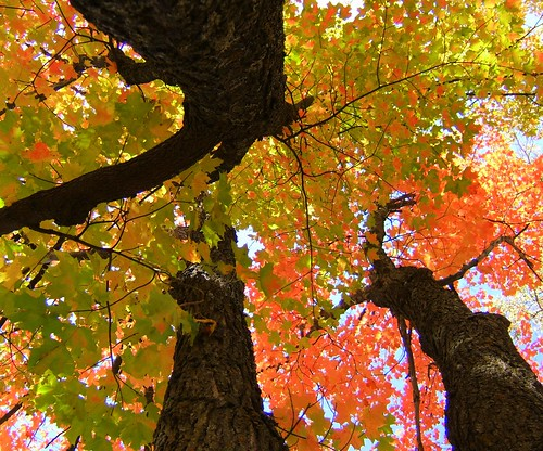 What Is the Difference Between a Silver Maple Tree & a Red Maple Tree?