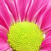 Big bright giggle! (cattycamehome) Tags: pink flower colour macro green nature beauty yellow tag3 taggedout happy petals tag2 all tag1 searchthebest bright blossom quote quality © rights laugh giggle pollen chrysanthemum reserved eecummings catherineingram thebestbravo october2006 abigfave twtmeiconoftheday cattycamehome allrightsreserved©