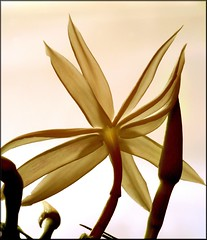 Star jasmine, just opening - by Lida Rose