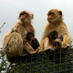 Monkeys (Barbary Macaque) - by Jasmic