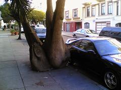Bulging (Tomas) Tags: sanfrancisco california tree cellphone yucca bulging