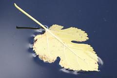 Leaf (cdw9) Tags: blue autumn lake fall water yellow leaf sigma float cdw9 img006524