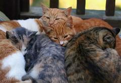 Cuddle x 5 (Boered) Tags: cats george lily elmo kittens sleepy cuddle specter fatkitty cc300 kissablekat