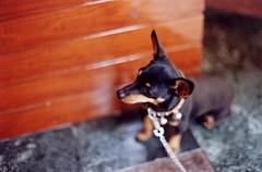 esperando -- waiting (dsevilla) Tags: espaa dog film gold interestingness spain nikon kodak dsevilla cutie perro murcia f90 nikkor 400asa mula 50mmf12ais