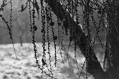 Natural Curtain (chrissie.007) Tags: 20161205 sw tanne schwarzweis bw