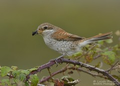Red backed Shrike (Nature Exposed) Tags: redbackedshrike shrike shrikes butcherbird bird birdphotography leighprevost leighprevostphotography wildlife wildlifephotography wild eastsussex newhaven newhaventidemills tidemills nature natureexposed naturephotography passerine autumnmigration autumnwatch bbcautumnwatch hunter